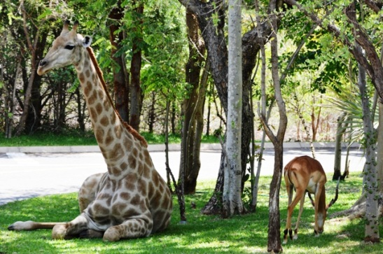 giraffes-to-welcome-you-at-the-entrance