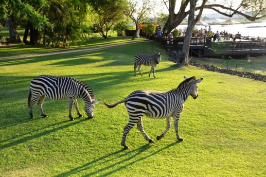 zebras-joining-guests-for-happy-hour