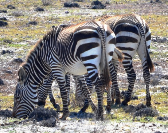 Cape Mountain Zebra have stripey bums