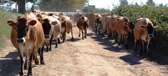Dalewood se koeie kom huis toe oor middagete