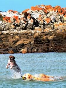 Honde baljaar in die lagune anderkant Suiderstrand
