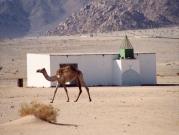 Kamele wil ook bid