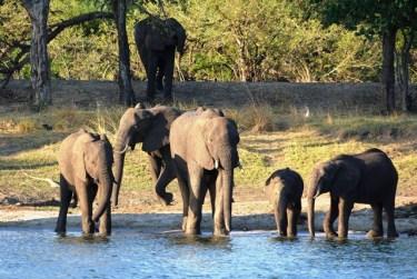 Olifante op die oewer van die Zambezi vanaf die African Princess gesien