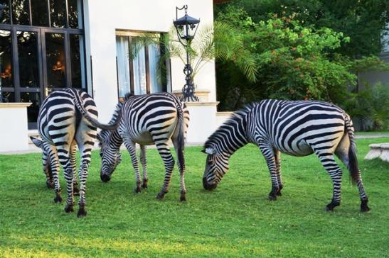 Zebras wei sommer reg voor die restaurantterras