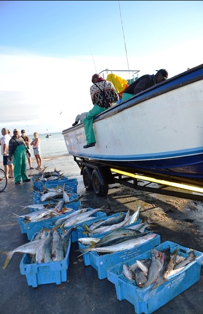 A good day's work with lots of yellowtail caught by the fisherfolk of Struisbaai