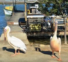 Pelikane en toeriste is kliente by Ek en Djy in Bokkomlaan, Velddrif