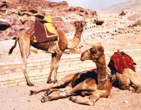 Die kamele lyk altyd rustig
