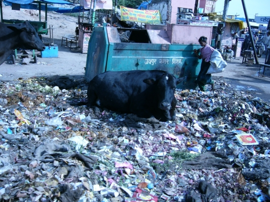 Cow&filth in India