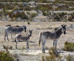 Die zebras hou ons van 'n afstand af nuuskierig dop