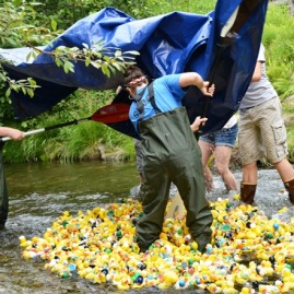 Rubber duckies are dumped into Pullen Stream ahead of their race to Pullen Pond
