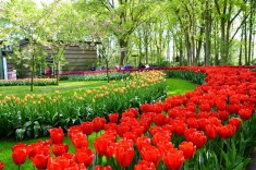 In 2019 is daar 7 miljoen tulpbolle by Keukenhof geplant