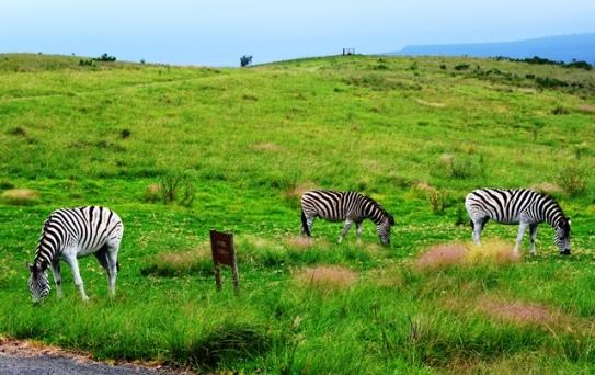 Sebras wei langs die selfsorgkothuise by Brahman Hills